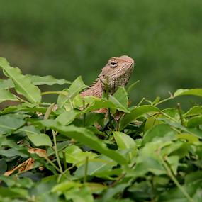Garden Lizard by Shubhendu Bikash Mazumder - Animals Reptiles ( garden lizard, lizard, animals, wildlife )