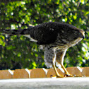 Sharp-shinned Hawk (Juvenile)