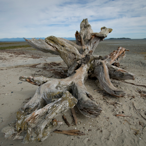 Driftwood by Janet Gilmour-Baker - Nature Up Close Other Natural Objects ( water, driftwood, wood, vancouver island, trees, beach, waterfront, parksville,  )