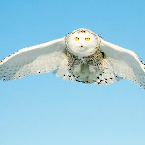 by Jocelyn Rastel-Lafond - Animals Birds ( snowy owl,  )