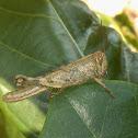 Unidentified Grasshopper - Nymph