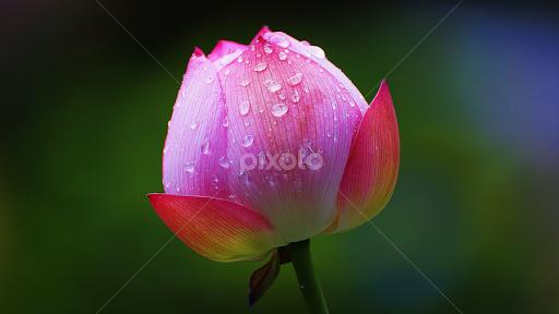 Lotus bud flower buds flowers pixoto lotus bud by juanito bumactao flowers flower buds flower and water drops single mightylinksfo
