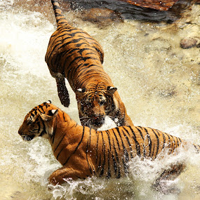 Play Time by Jacob Council - Animals Lions, Tigers & Big Cats ( water, busch gardens, tigers, playtime, brothers )