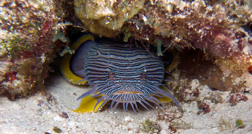 A great day of scuba diving off Cozumel can include a glimpse of the splendidly named Splendid Toadfish.
