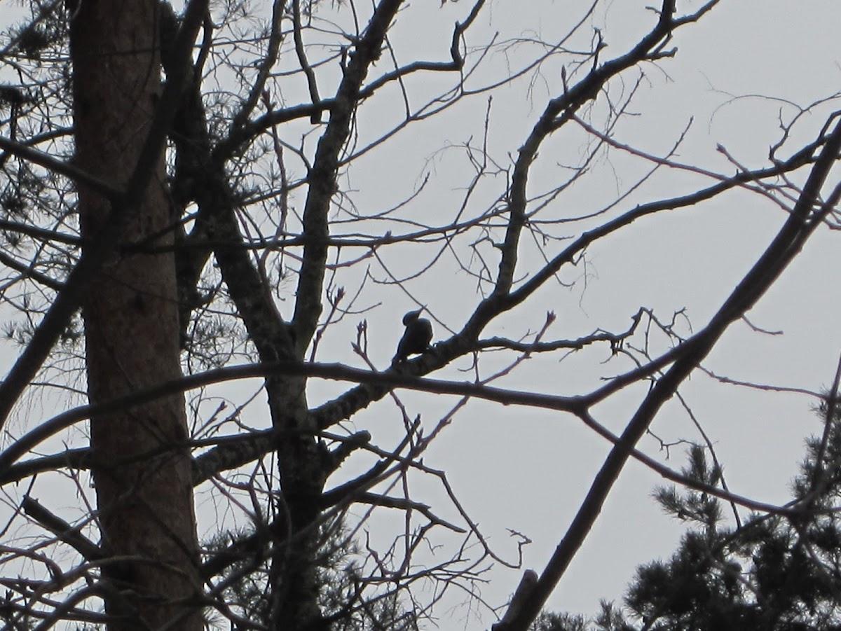 Black Woodpecker female