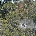 Bat in a web?
