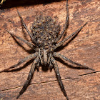 Field Wolf Spider with Babies