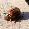 Big Chafer Beetle