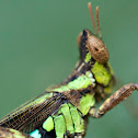 Conjoined Spot Monkey-Grasshopper