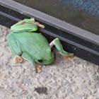 Morelet´s frog, rana arbórea de ojos negros