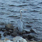 Great Blue Herion
