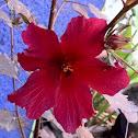 Rosa de Jamaica