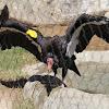 (Adult) California Condor