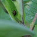 14 spotted lady beetle
