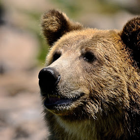 Big Grizzly by Roy Walter - Animals Other Mammals ( bear, grizzly, other mammal, mammal, animal )