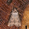 Ipsilon Dart Moth