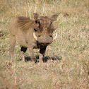 warthog with family