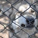 Lobo gris mexicano (wolf)