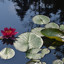 Sweet Scented Water Lily