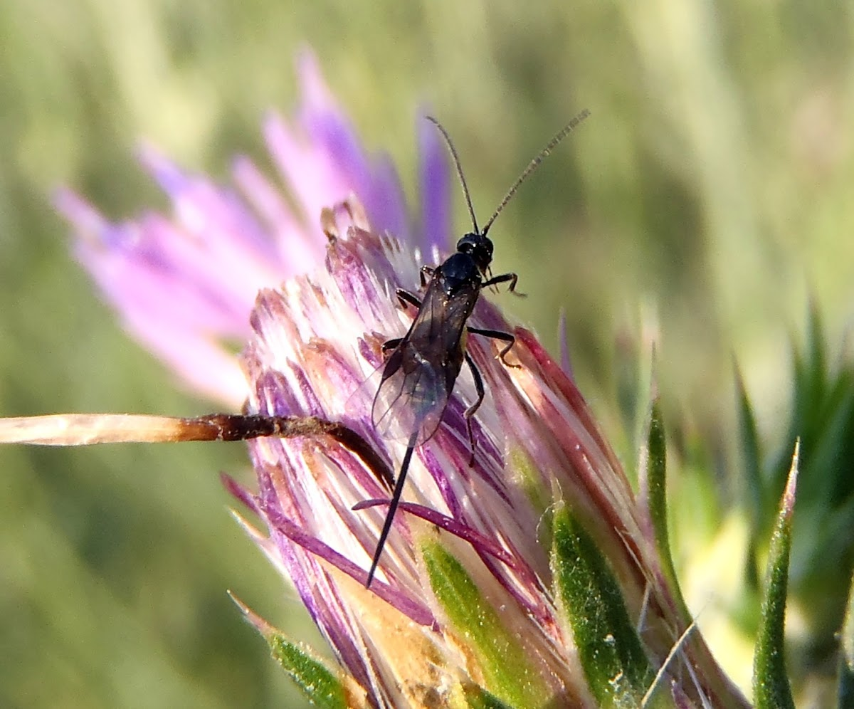 Braconidae wasp. Avispa Braconidae