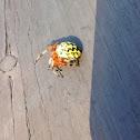 Marbled orb weaver