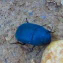Frantic Tortoise Beetle (Koffiepit)