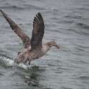 Northern Giant Petrel (Hall's Giant Petrel)