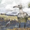 Gull fledglings