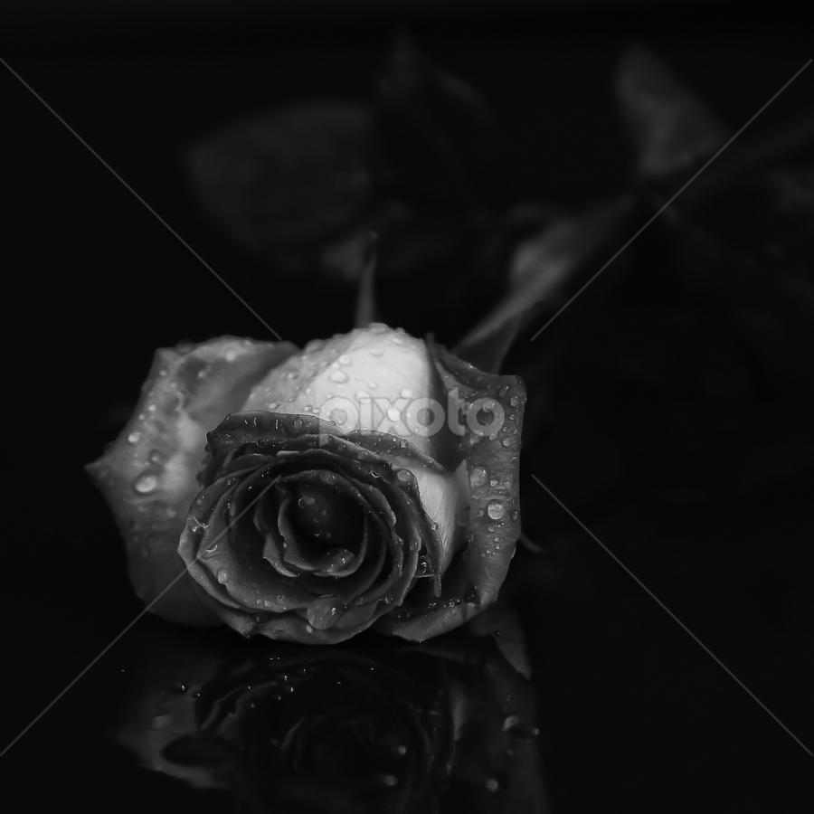 Rose by Nancy Merolle - Black & White Flowers & Plants