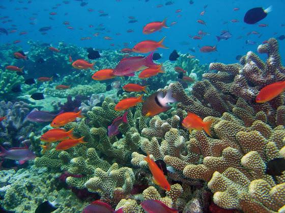 The fish of Rainbow Reef on Vanua Levu, Fiji.