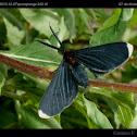 White-tipped Black or Snowbush Spanworm