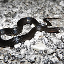 Southern Florida Swamp Snake