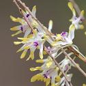 Tea Tree Orchid