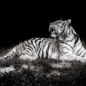 Tiger by Felipe Mairowski - Animals Lions, Tigers & Big Cats ( big cat, tiger, tigre, grass, dark, bw )