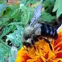 Franklin's Bumblebee