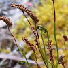 Narrow Comb-fern