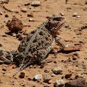 Mountain Short-horned Lizard