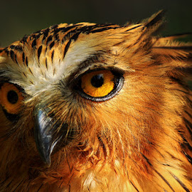 Owl II by Prodjo Tamansari - Novices Only Wildlife