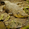 saltwater/estuarine crocodile