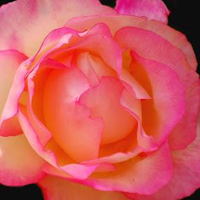 Belleza by Daniel Sapag - Flowers Flower Gardens ( jardines, rosado, jardin, primavera, rosas )