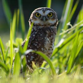 Natural Beauty by David Tamayo - Animals Birds ( brazil, animals, rio de janeiro, owl, landscapes )