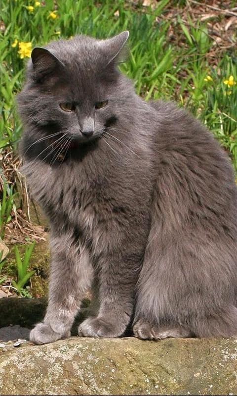 Gato Bosque de Noruega   Razas de gatos - ar.pinterest.com