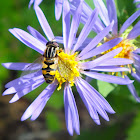 Gold Striped Hoverfly on Sky-Blue Asters