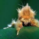 Mohawk Moth
