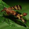 Scorpion Fly