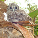 Tawny Owl / Brown Owl