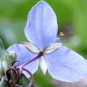 Common Spiderwort