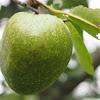 Pond apple / Monkey apple / Dog apple