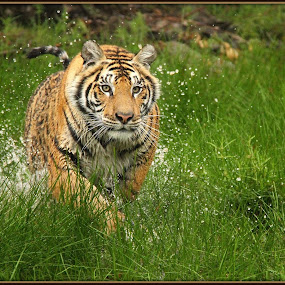 Coming to get you by Romano Volker - Animals Lions, Tigers & Big Cats