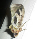 Fruit Sucking Moth (Male)